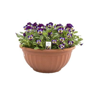 Pansy Bowl | Flowerama Ankeny, #437